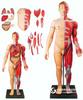 人体全身层次肌肉附内脏模型QS-A10001