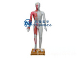 人体针灸模型、人体经络模型