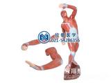 人体浅层运动肌肉解剖模型