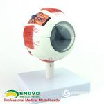 ENOVO頤諾專業版醫學人體眼球解剖模型眼睛解剖結構五官眼科結構