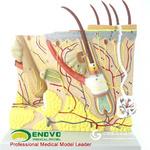ENOVO頤諾放大人體皮膚解剖結構模型微創皮膚美容整形臉面部模型