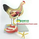 ENOVO颐诺鸡解剖模型牧器官内脏肌肉神经家禽畜兽医学习动物解剖