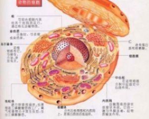 Hep 3B2.1-7细胞,人肝癌细胞,