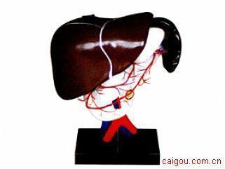 腹腔动脉的配布模型