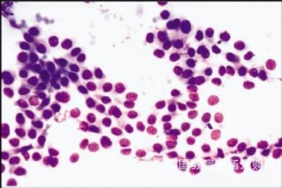 大耳山羊肾细胞,LDG-2