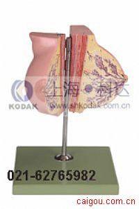 静止期女性乳房模型