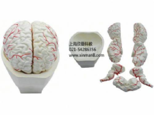 脑及脑动脉模型