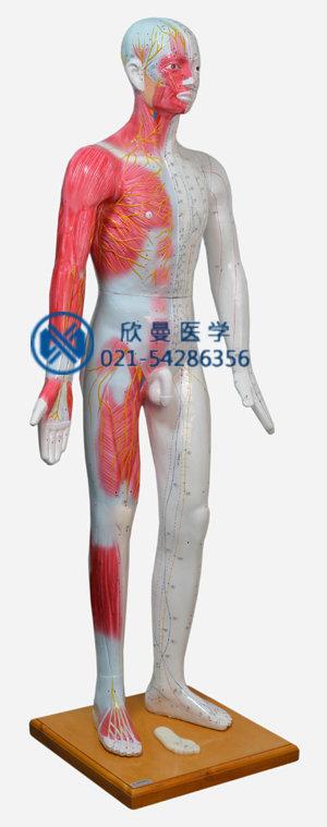 人体针灸模型,人体针灸穴位模型