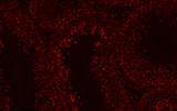 ROS染色 冰冻切片 实验报告及结果展示-上海郑核