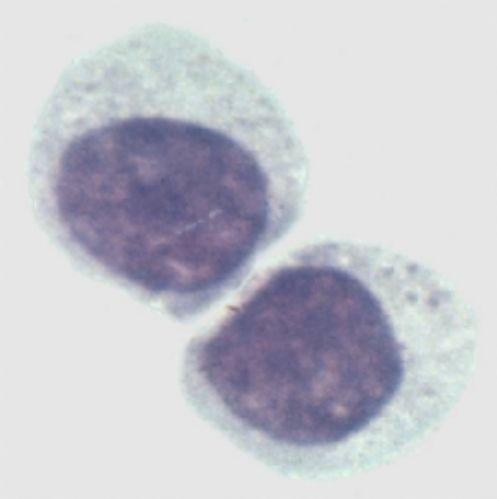 小鼠杂交瘤细胞,CHGF-001